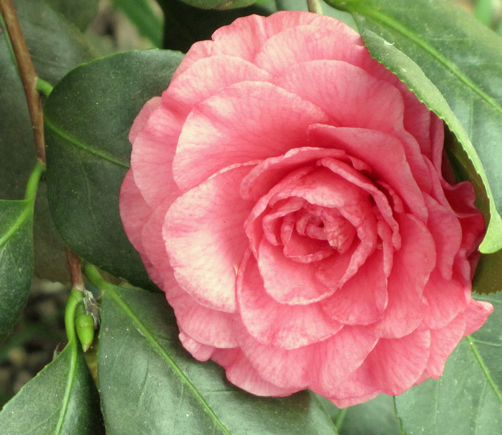 Pretty Camellia Bloom
